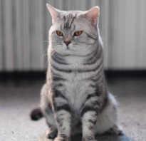 Все о шотландских кошках