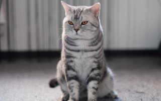 Размеры шотландской прямоухой кошки