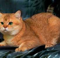 Продолжительность жизни шотландских прямоухих кошек