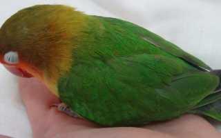 Как приручить попугая неразлучника к рукам