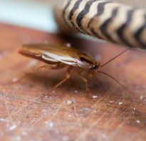 Есть ли матка у тараканов