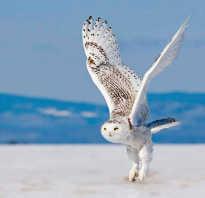 Краткое сообщение о полярной сове