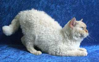 Порода кошек с кудрявой шерстью