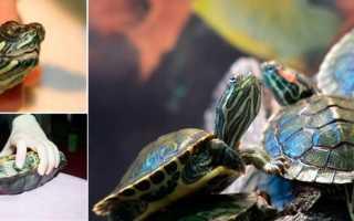 Болезни красноухой черепахи в домашних условиях