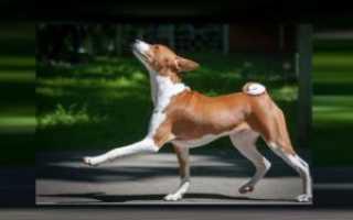 Порода собак не умеющих лаять