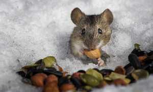 Как мышь полевка готовится к зиме