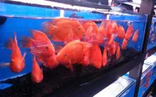Попугаи аквариумные содержание