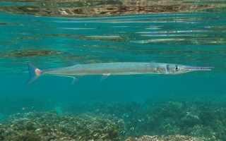Рыба игла пресноводный сарган: содержание, фото-видео обзор