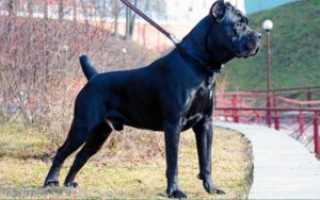 Порода собак итальянский кане