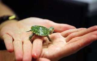 Декоративная водяная черепаха