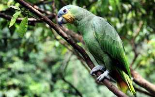 Амазон Мюллера — описание, уход и содержание попугая