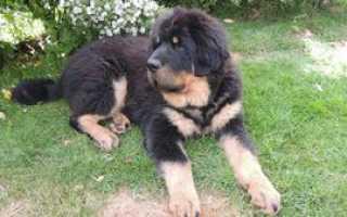 Тибетский мастиф 8 месяцев фото