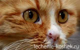 Кальцивироз у кошек: симптомы и лечение в домашних условиях, последствия