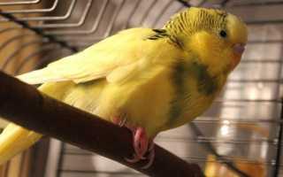 Волнистый попугай поджимает лапку