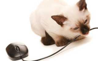 Как отучить кота, кошку или котенка лазить на стол и грызть провода: что делать