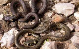 Как размножаются ужи и змеи
