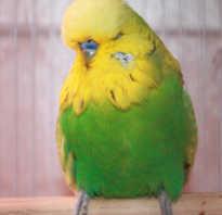 Волнистый попугай дрожит и закрывает глаза