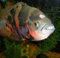 Лечение гексамитоза у рыб