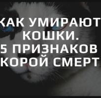 Признаки что кот умирает