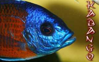 Копадихромис каданго: содержание, совместимость, разведение, фото-видео обзор