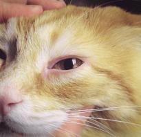 У кошки, котенка, кота слезятся глаза: почему и как лечить