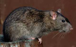 Хвост крысы фото