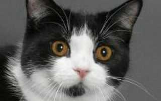 Кошка мэнской породы