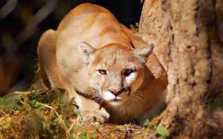 Пума: 40 фото животного, как выглядит, сколько стоит, где обитает