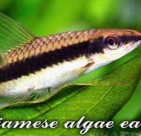Водорослеед рыбка содержание и совместимость