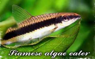 Рыбка сиамский водорослеед
