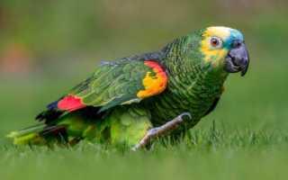 Попугай — синелобый амазон: описание, уход и содержание
