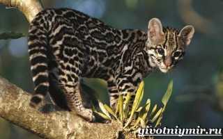 Фото котят тигрового окраса
