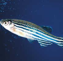 У какой рыбы короткая память