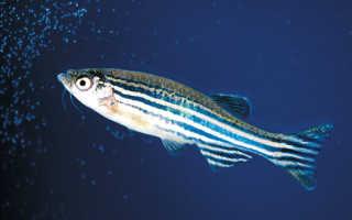 Сколько памяти у рыбы