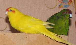 Новозеландский попугай какарик — уход и содержание в домашних условиях