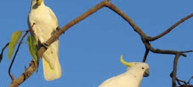 Большой белохохлый попугай какаду — уход и содержание
