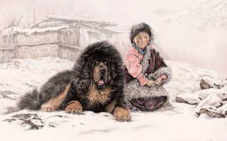 Тибетский мастиф уход и содержание