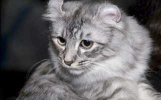 Обзор 23 пород серых кошек: содержание, уход, фото с названиями