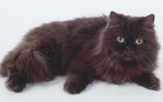 Шоколадные котята с голубыми глазами