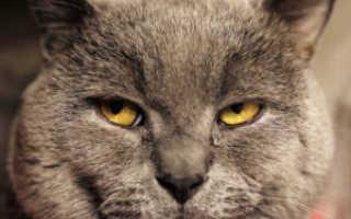 У кота слезится глаз светобоязнь