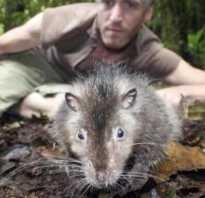 Самая большая найденная крыса