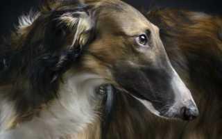 Новые породы собак в россии