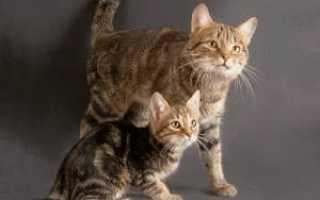 Кошки породы европейская короткошерстная фото описание