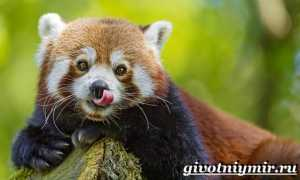 Красная малая панда: описание разновидности, где живет огненный зверек
