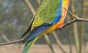 Травяной попугай: глянцевый и лазурный попугайчик — уход и содержание