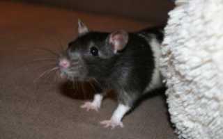 Преднизолон для крысы