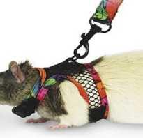 Как сделать шлейку для крысы