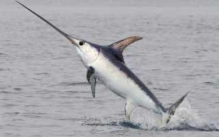 Как выглядит рыба меч