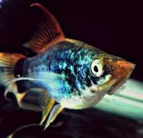 Пецилии рыбки фото