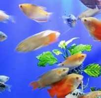 Рыбки семейства лабиринтовых